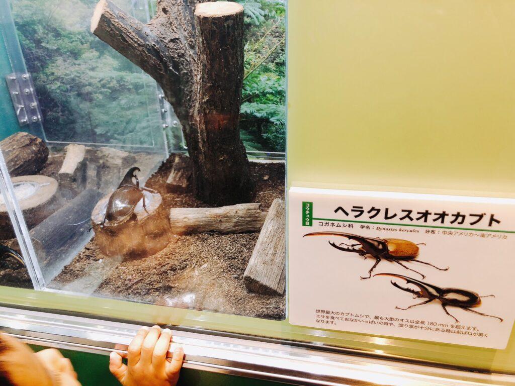 ヘラクレスオオカブトの写真